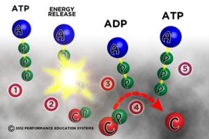 L'adénosine est en bleu, les groupes de phosphate en vert et la créatine en rouge.