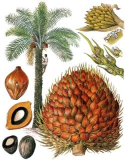 Elaesis Guineensis